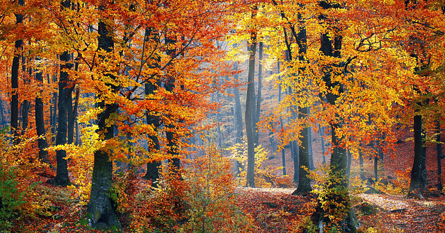 Fall Leaves in a forest of trees